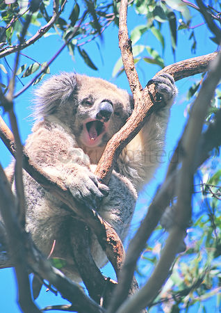 Grasp : Koala bear on the gum tree