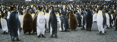 Large group of animals : Large colony of penguins