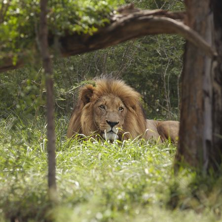 African wildlife : Lion lies in shade of tree
