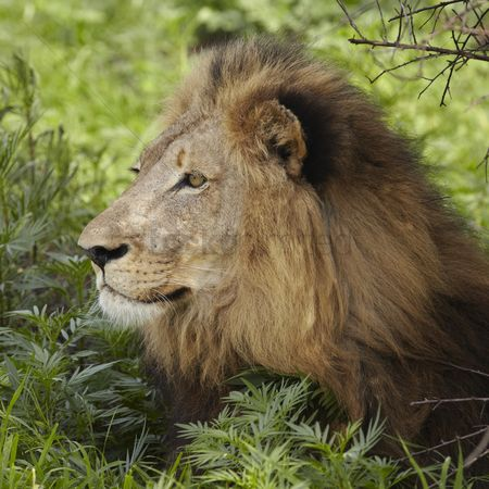 African wildlife : Lion lying in shade of tree