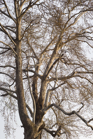 Almond : Low angle view of an almond tree  shalimar garden  srinagar  jammu and kashmir  india