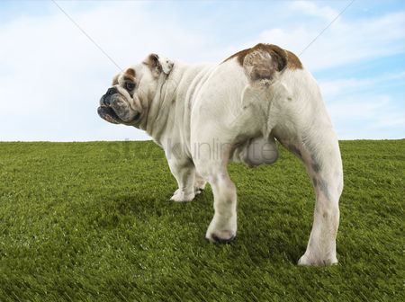Dogs : Male bulldog standing back view