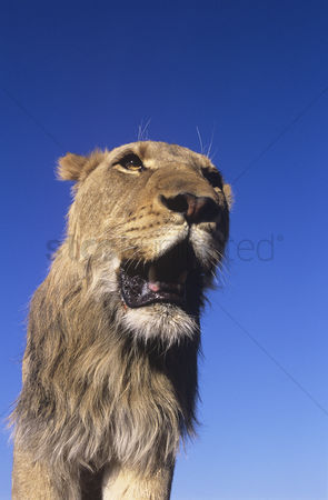 Proud : Male lion against blue sky low angle view