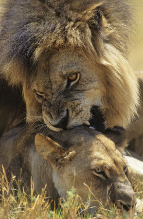 Leadership : Male lion biting lioness on savannah