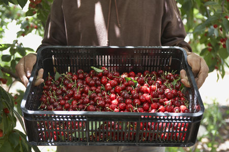 Land : Man holding tray of freshly harvested cherries