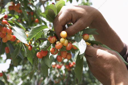 Land : Man picking cherries