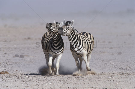 Animals in the wild : Namibia etosha pan two burchell s zebras running side by side