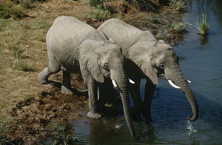 Two people : Namibia two african bush elephants drinking water from river elevated view