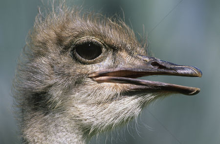 African wildlife : Ostrich close-up of head