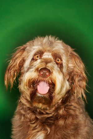 Dogs : Otterhound close-up
