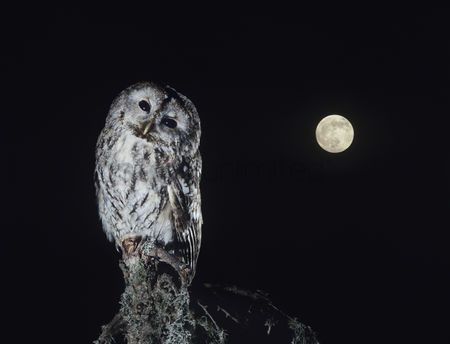 Black background : Owl perching on tree