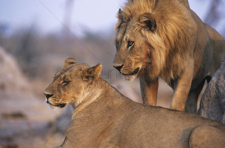 Leadership : Pair of lions resting