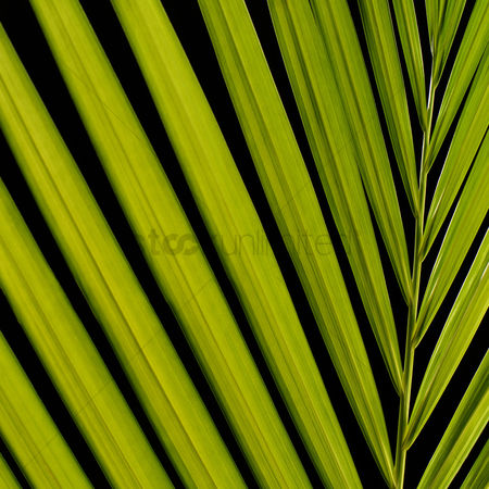 Blossom : Palm  leaves