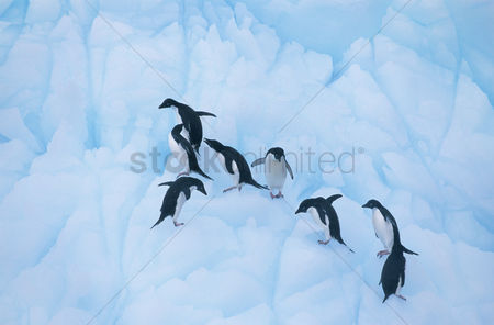 Animals in the wild : Penguins climbing on ice