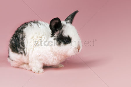 Pink : Pet rabbit on pink background
