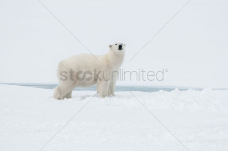 Alert : Polar bear north of spitsbergen  svalbard  close to the north pole norway