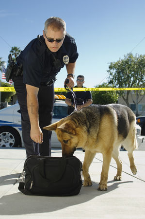 Domesticated animal : Police dog sniffing bag