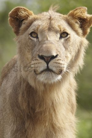 African wildlife : Portrait of a lion