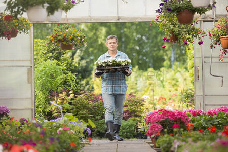 Greenhouse : Portrait of gardener carrying crate with flower pots while entering greenhouse