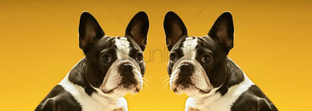 Head shot : Portrait of symmetrical french bulldogs over yellow background