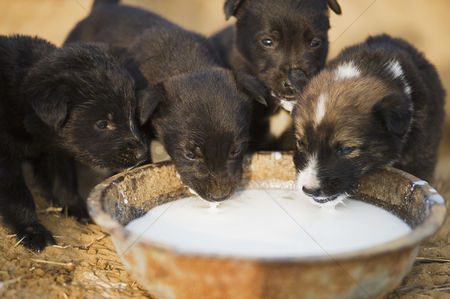 Dogs : Puppies drinking milk in a bowl  farrukh nagar  gurgaon  haryana  india