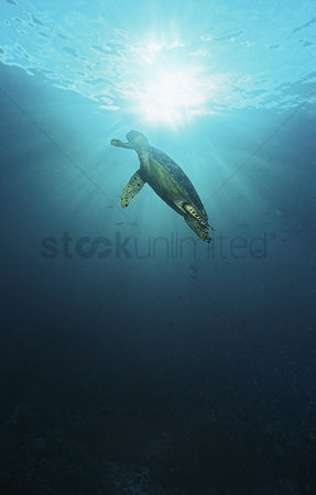 Animals in the wild : Raja ampat indonesia pacific ocean hawksbill turtle  eretmochelys imbricata  swimming in sunbeams shining through water surface low angle view