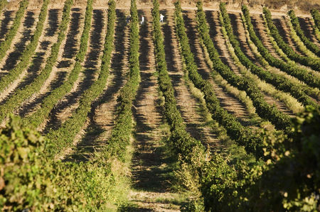 Grapes : Rows of grapevines