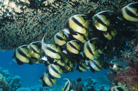 Large group of animals : School of angelfish on reef