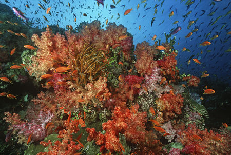 Large group of animals : School of sea goldies amongst soft coral reef