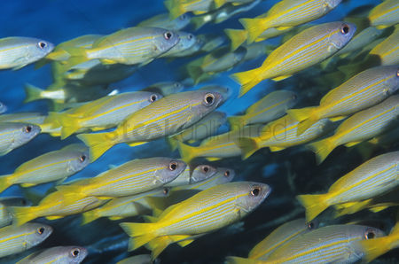 Large group of animals : School of tropical fish in ocean