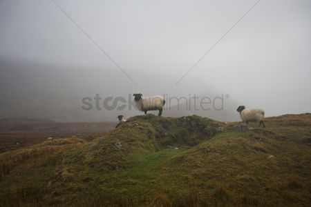 Grass background : Sheep grazing on misty farm