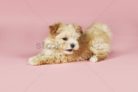 Pink : Small brown dog on pink background