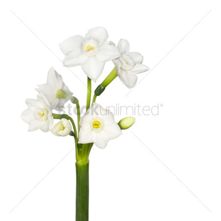 Spring : Stephanotis