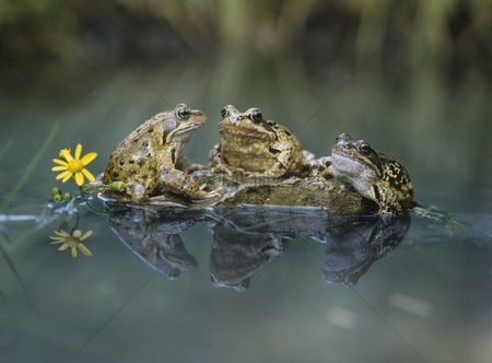 Animals in the wild : Three frogs sitting on rock