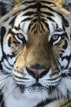 Alert : Tiger close-up of face
