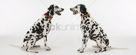 Dogs : Two dalmatians sitting face to face