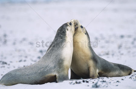 Animals in the wild : Two fur seals bonding on beach