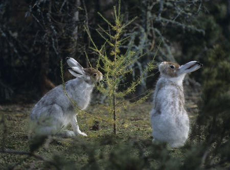 Animals in the wild : Two hares nibbling on small tree