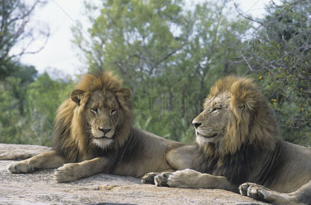 Animals in the wild : Two male lions lying on rock