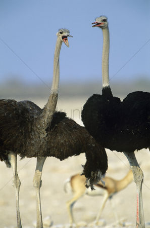 African wildlife : Two ostriches dancing on savannah