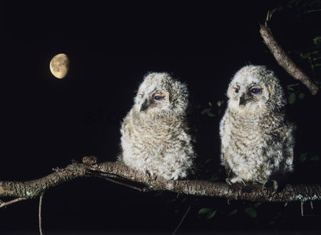 Owl : Two owlets perching on tree branch
