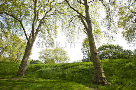 Trees : Two tall trees next to a small hill