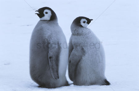 Animals in the wild : Two young emperor penguins standing back to back