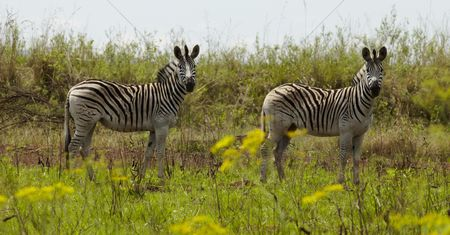 Animals in the wild : Two zebras stand in the african plains