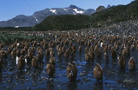 Large group of animals : Uk south georgia island colony of juvenile king penguins on beach