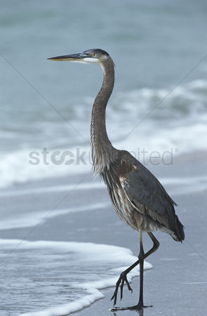 Animals in the wild : Usa florida sanibel island great blue heron on beach side view
