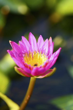 Spring : Water lily