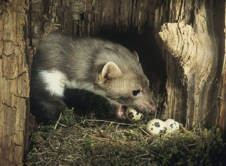 Thief : Weasel stealing eggs from nest