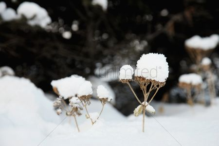 Cold temperature : Wildflowers covered with snow