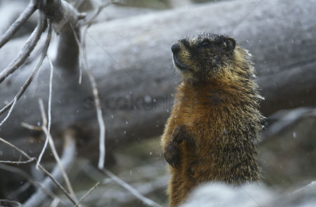 Animals in the wild : Yellow-bellied marmot standing on hind legs by fallen tree trunk